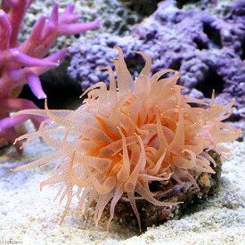 (サンゴ)ウチウラタコアシサンゴ ピンク(1個) 海水魚 北海道航空便要保温 沖縄別途送料