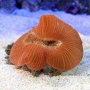 (海水魚 サンゴ)ベトナム産 オオバナサンゴ レッド系(1個) 北海道・九州航空便要保温