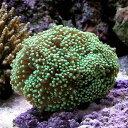 (海水魚 サンゴ)ツツマルハナサンゴ グリーン(ワイルド)(1個) 北海道・九州航空便要保温