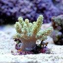 (海水魚 サンゴ)沖縄産 カワラフサトサカ ライトグリーン SSサイズ(1個) 北海道航空便要保温
