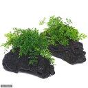 (水草)ボルビティスsp.ベビーリーフ付流木 Mサイズ(1本)(約20cm)