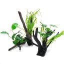 (水草)アヌビアスナナ&おまかせミクロソリウム付 枝状流木 Mサイズ(約25〜30cm)(1本)