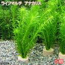 (水草)メダカ・金魚藻 ライフマルチ(茶) アナカリス(5個)