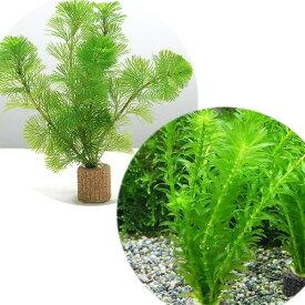 (水草)ライフマルチ(茶) メダカ・金魚藻セット(1セット) 北海道航空便要保温