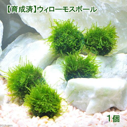 (水草)育成済 ウィローモス ボール(無農薬)(1個)