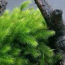 (観葉植物)苔 ヒノキゴケ 1パック分【HLS_DU】