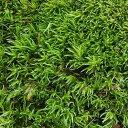 (観葉植物)苔 ヤマゴケ(ホソバオキナゴケ・アラハシラガゴケ) 1パック分【HLS_DU】