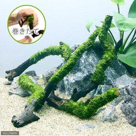 (水草)巻きたて ウィローモス スティック流木 Sサイズ(約15cm)(無農薬)(1本) 北海道航空便要保温