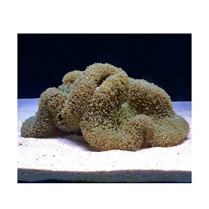C.P.Farm直送石垣島産ハタゴイソギンチャク約25〜30cm(0.6個口相当)別途送料海水無脊椎