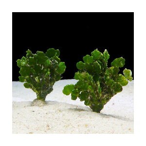 C.P.Farm直送(海水魚海藻)石垣島産コサボテングサ50本(0.48個口相当)別途送料海水海草