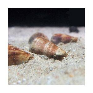 C.P.Farm直送(海水魚貝)石垣島産マガキガイ殻長約3〜4cm1個体(0.08個口相当)別途送料海水クリーナー