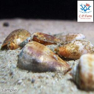 C.P.Farm直送(海水魚貝)石垣島産マガキガイ殻長約3〜4cm10個体(0.24個口相当)別途送料海水クリーナー