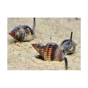 C.P.Farm直送(海水魚貝)石垣島産リュウキュウムシロガイ3個体(0.08個口相当)別途送料海水クリーナー