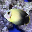 (海水魚)クログチニザ ナメラタイプ(1匹)