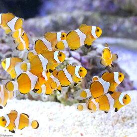 (海水魚)外国産 カクレクマノミ(ブリード)(1匹)熱帯魚