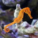 (海水魚)カリビアンシーホース オレンジ(ブリード)(1匹) 沖縄別途送料