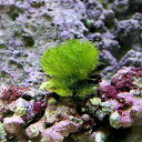 (海水魚)海藻 マユハキモ プチサイズ(1個) 北海道・九州航空便要保温