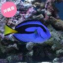 (海水魚)沖縄産 ナンヨウハギ MLサイズ(1匹) 北海道・九州・沖縄航空便要保温