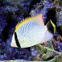 (海水魚)インド洋産 ヤリカタギ(1匹) チョウチョウウオ