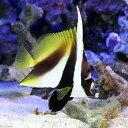 (海水魚)オニハタタテダイ(1匹) チョウチョウウオ