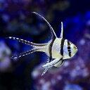 (海水魚)プテラポゴン・カウデルニー(1匹) 北海道・九州・沖縄航空便要保温
