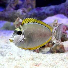(海水魚)インド洋産 ミヤコテングハギ(1匹) 北海道・九州航空便要保温