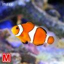 (海水魚 熱帯魚)カクレクマノミ Mサイズ(国産ブリード)(1匹)