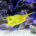 (海水魚 フグ)コンゴウフグ Lサイズ(1匹) 北海道・九州・沖縄航空便要保温