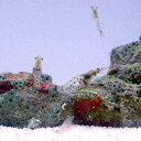 (海水魚)生餌 海洋性イサザアミ(1g)