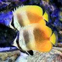 (海水魚)沖縄産 ミゾレチョウチョウウオ ペア(1ペア) 北海道・九州・沖縄航空便要保温