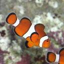 (海水魚)沖縄産 カクレクマノミ Mサイズ(ワイルド)(1匹)