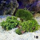 (海水魚 海藻)おまかせカウレルパ 石付き Sサイズ(1個) 北海道・九州・沖縄航空便要保温