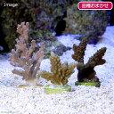 (海水魚 サンゴ)インドネシア産 おまかせミドリイシ プラグ付き(1個) 北海道航空便要保温