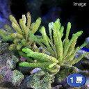 (海水魚)海藻 イソスギナ 岩つき(1個) 北海道・九州航空便要保温