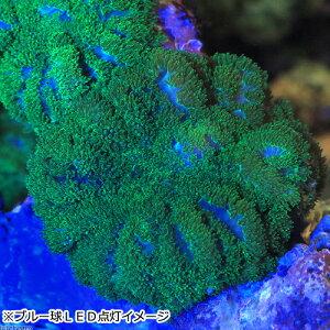(海水魚サンゴ)ディスクコーラルスーパーグリーンSSサイズ(1個)北海道航空便要保温
