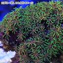 (海水魚 サンゴ)インドネシア産 スターポリプsp. ダルトーングリーン Mサイズ(1個) 北海道・九州・沖縄航空便要保温