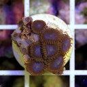 (海水魚 サンゴ)マメスナギンチャク ディープブルー プラグ付き(1個) 北海道・九州・沖縄航空便要保温
