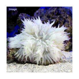 (海水魚)キッカイソギンチャク ホワイト 先端パープル SMサイズ(1匹)無脊椎動物 北海道航空便要保温