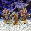 (サンゴ)オーストラリア産 おまかせミドリイシ ハイグレード プラグ付き(1個) 北海道・九州航空便要保温
