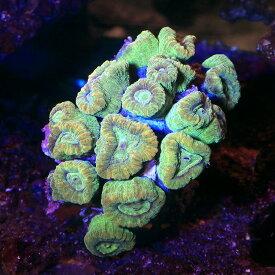 (サンゴ)一点物 タバネサンゴ グリーン CM−12922(1個) 北海道航空便要保温 沖縄別途送料
