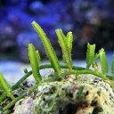 (海水魚 海藻)ビャクシンヅタ 岩なし(1房) 北海道・九州・沖縄航空便要保温