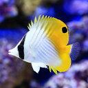 (海水魚)沖縄産 トゲチョウチョウウオ(1匹)