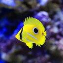 (海水魚)沖縄産 ウミヅキチョウチョウウオ(1匹) 北海道・九州・沖縄航空便要保温