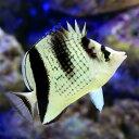 (海水魚)沖縄産 カガミチョウチョウウオ(1匹) 北海道・九州・沖縄航空便要保温