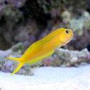 (海水魚)ハナダイギンポ イエロー(1匹) 北海道・九州・沖縄航空便要保温
