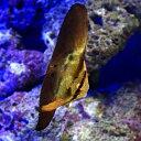 (海水魚)ナンヨウツバメウオ 幼魚(1匹) 北海道・九州・沖縄航空便要保温