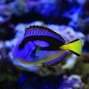 (海水魚)東アフリカ産 ナンヨウハギ Mサイズ(1匹) 北海道・九州・沖縄航空便要保温