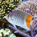 (海水魚)アミメチョウチョウウオ(1匹)