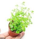 (水草)ドルマリアコルダータ(水上葉) 鉢植え(無農薬)(1鉢)