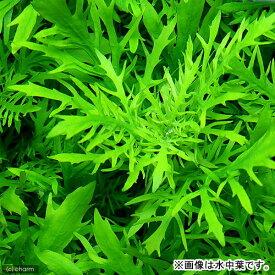 (水草)ウォーターウィステリア(水上葉)(無農薬)(3本)